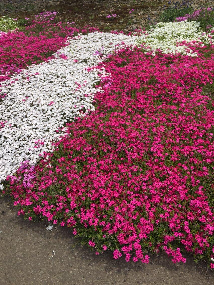 人妻さん日誌:お家の周りは芝桜でい