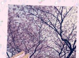 桜満開|れお*さんの日誌写真
