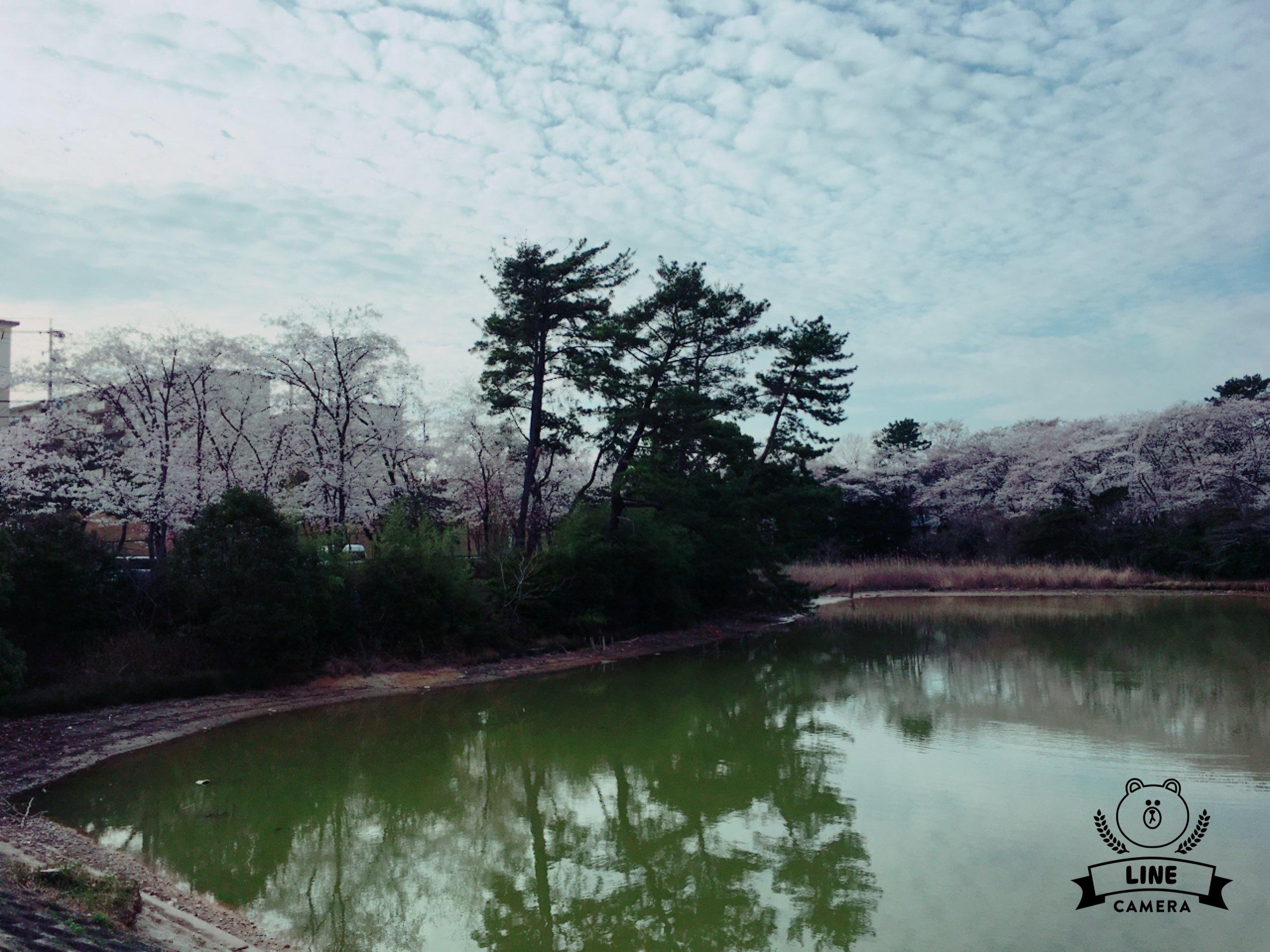 桜満開🌸 ☆万莉花☆さんの日誌写真