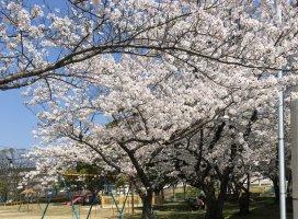 桜桜🌸|☆万莉花☆さんの日誌写真