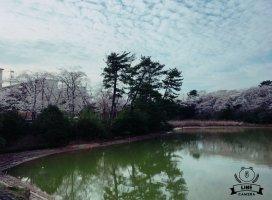桜満開🌸|☆万莉花☆さんの日誌写真