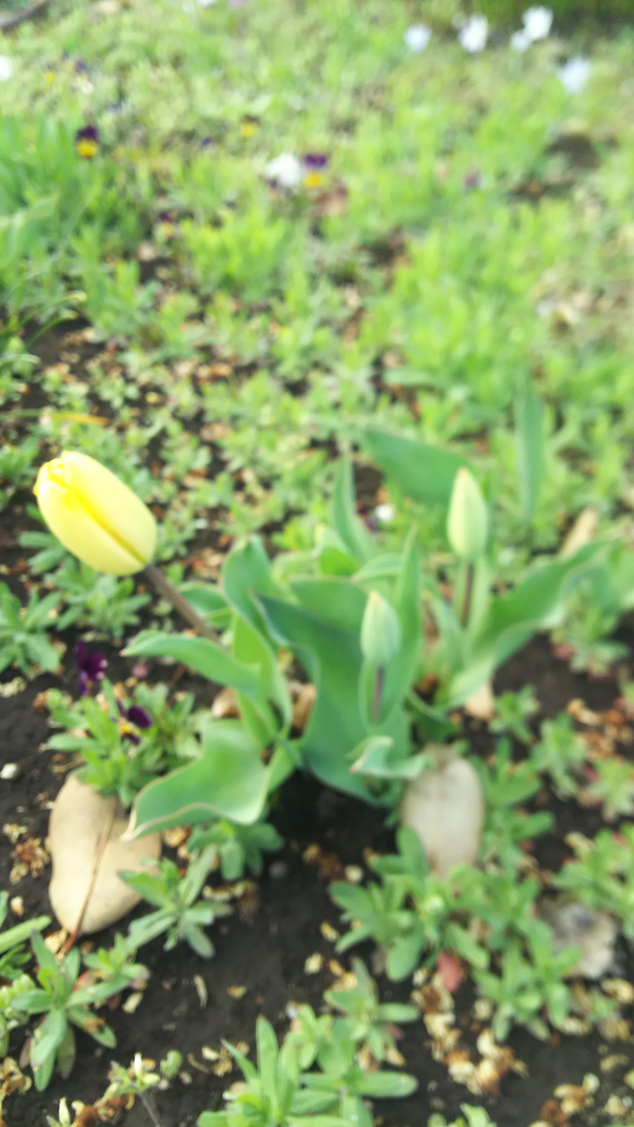 人妻さん日誌:庭のチューリップが咲