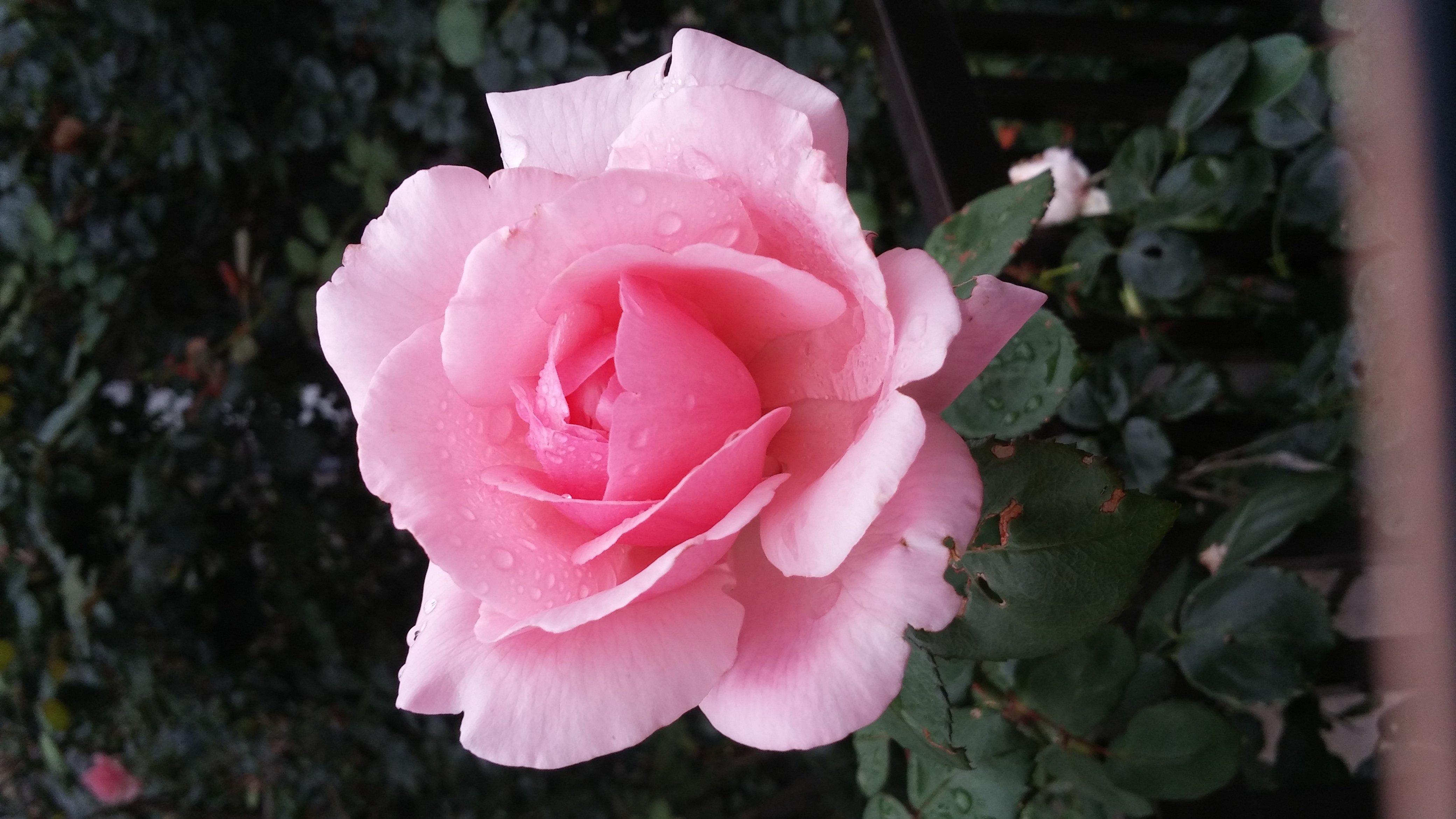 人妻さん日誌:部屋中を薔薇の花一色