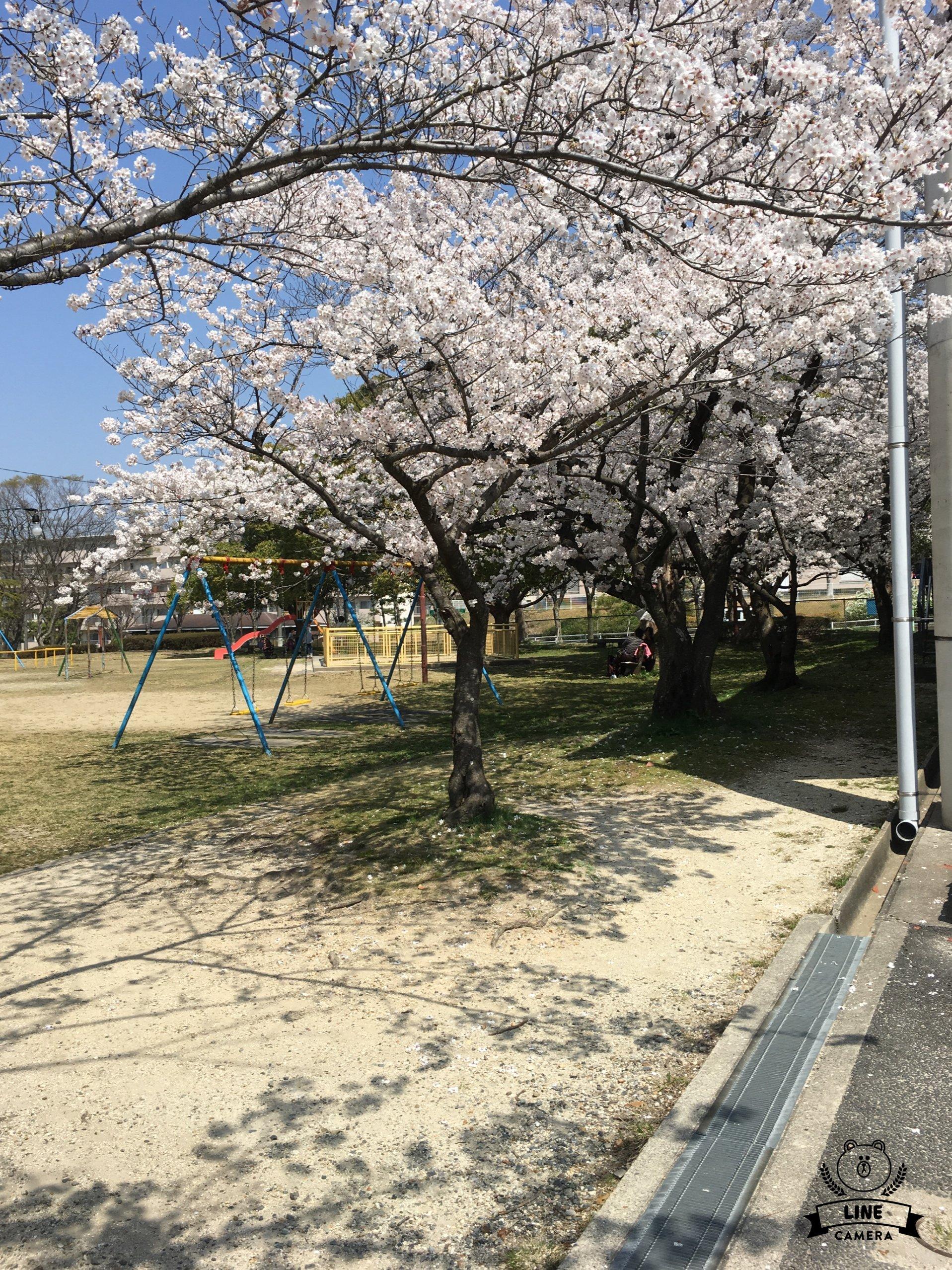 人妻さん日誌:桜満開ですねー。万莉