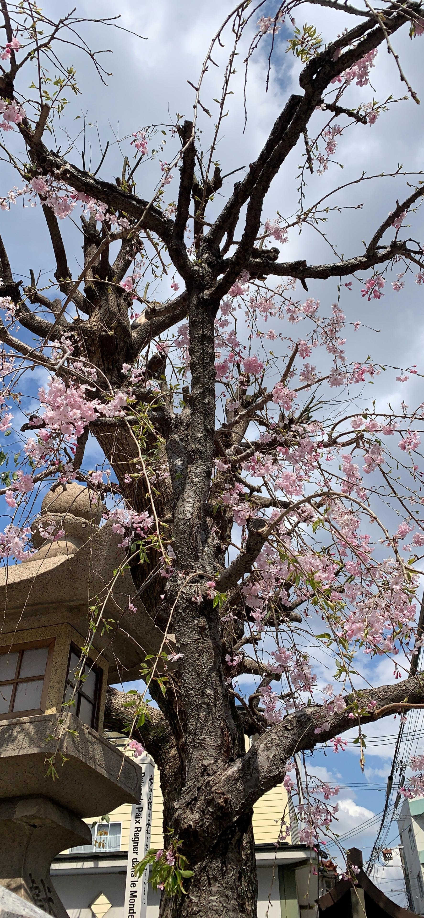 人妻さん日誌:<br /> 道沿いにつづく桜並